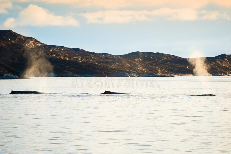 Family of humpback whales in Atlantic ocean, Greenland. Family of humpback whales in Atlantic ocean at sunset, west coast of Greenland stock images