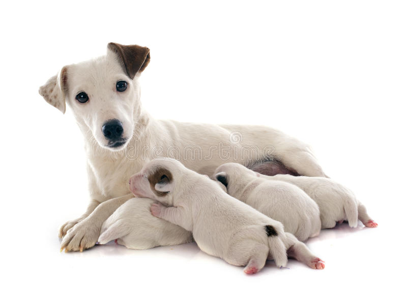 Family jack russel terrier royalty free stock photos