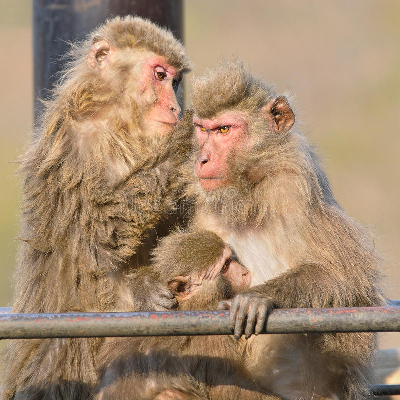Download Family of Japanese macaca stock image. Image of furry - 18501731