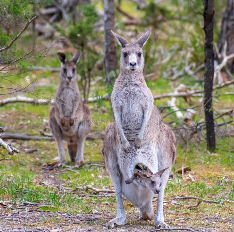 Family of kangaroos. Somewhere in the forest, Victoria, Australia
