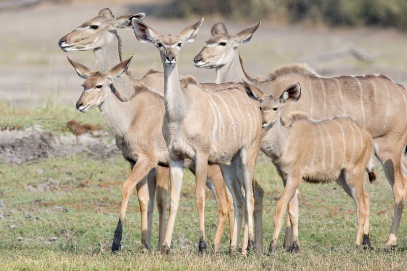 Family of kudu deer stock image