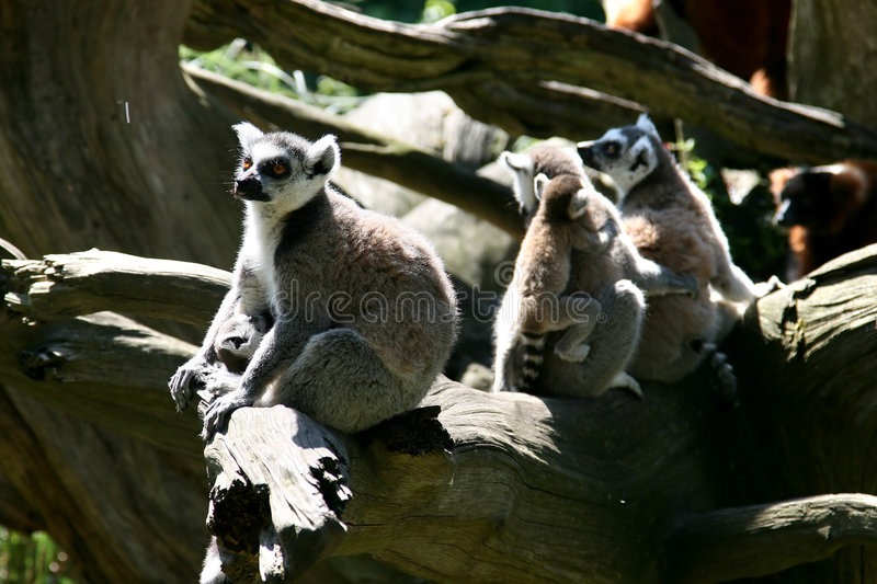 Family life of Ring-tailed Lemur monkeys royalty free stock photography