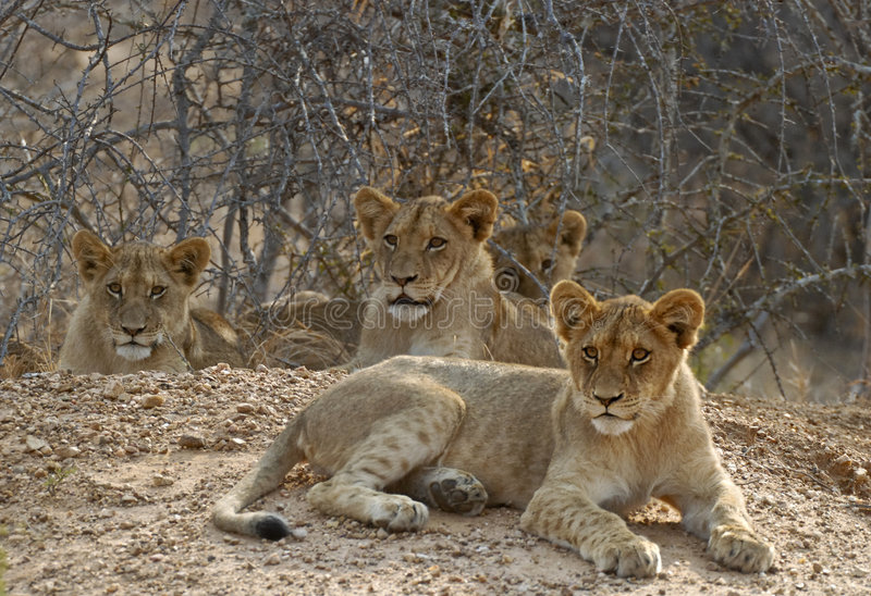 Download Family of lion cubs stock image. Image of lions, looking - 6773859