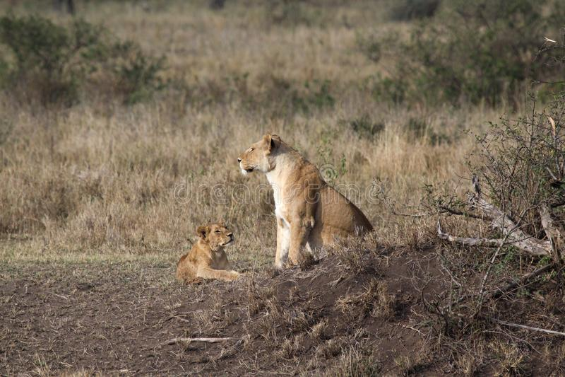 Family lion stock image