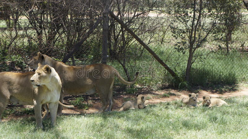 A family of lions with a cubs in a natural environment royalty free stock photo