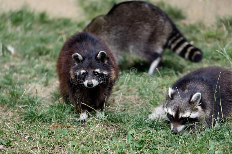 Family of lotor common raccoons procyon lotor royalty free stock photography