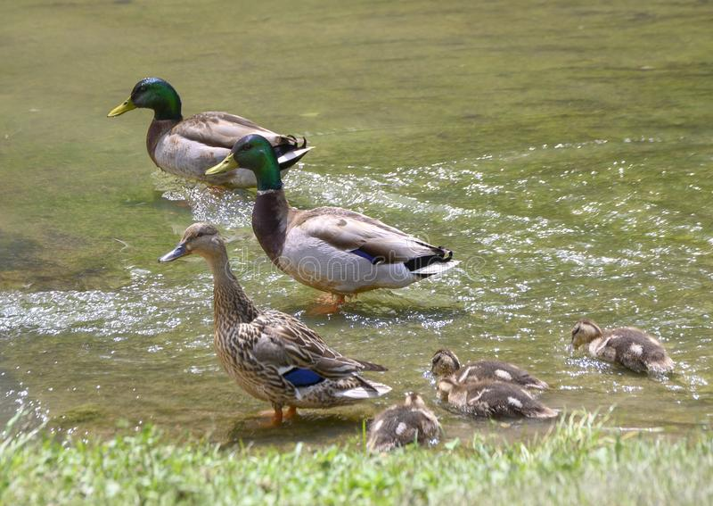 Family of mallards in a shallow lake in Watercrest Park, Dallas, Texas. Pictured is a mother mallard duck, her ducklings and two male mallards standing in a royalty free stock photos