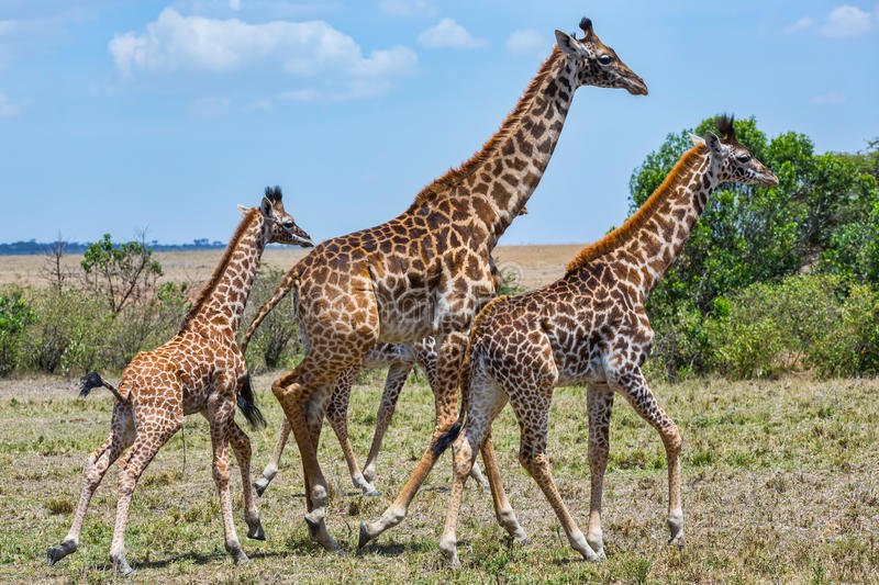 Family of Masai Giraffe, Running. A baby Masai Giraffe, still with its umbilical cord, runs with other members of the herd, or tower. Photographed in Olare Orok royalty free stock photo