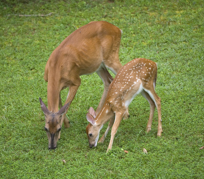 Download Family meal stock image. Image of wildlife, grazing, whitetail - 26008315