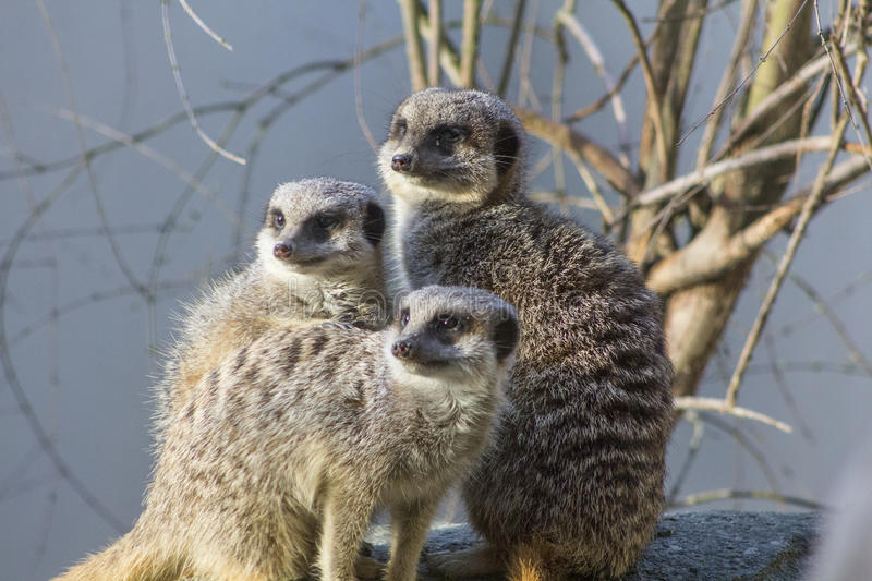 A family of Meercats. A family of Meer Cats huddled together looking off into the distance with a bare tree behind them royalty free stock photos