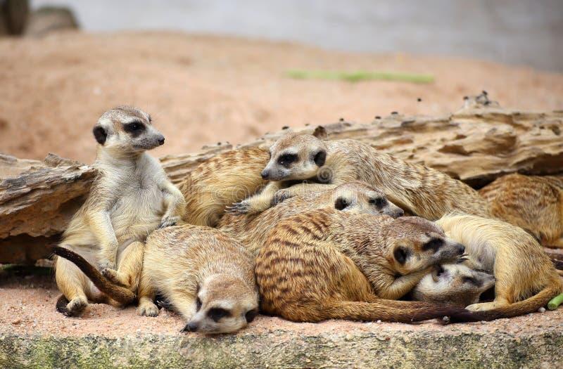 Download Family of Meerkats stock image. Image of snout, meerkat - 32234541