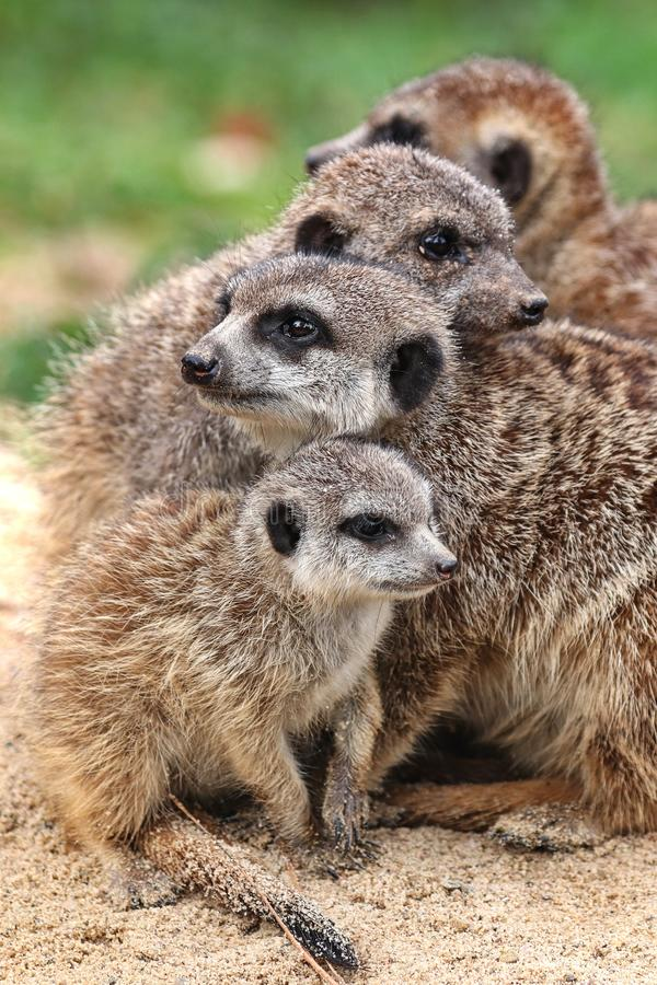 A family of meerkats 2 royalty free stock images