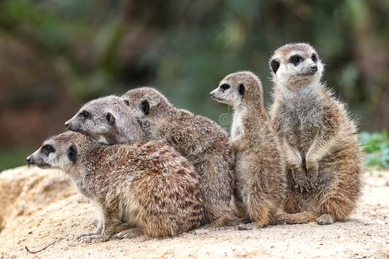 A family of meerkats stock image