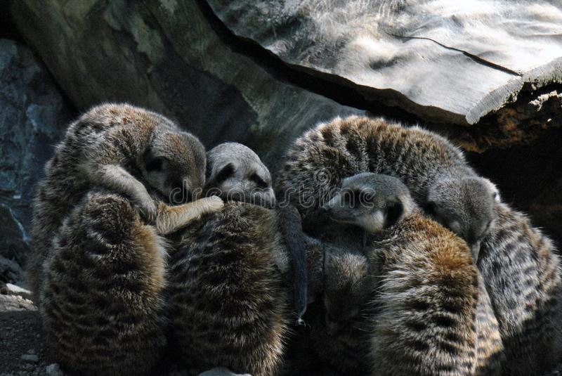 A family of meerkats taking a nap stock image