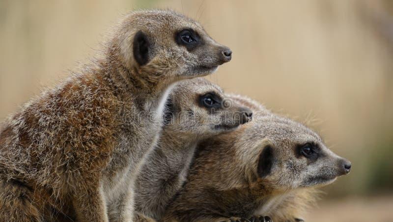 Family of meerkats stock images