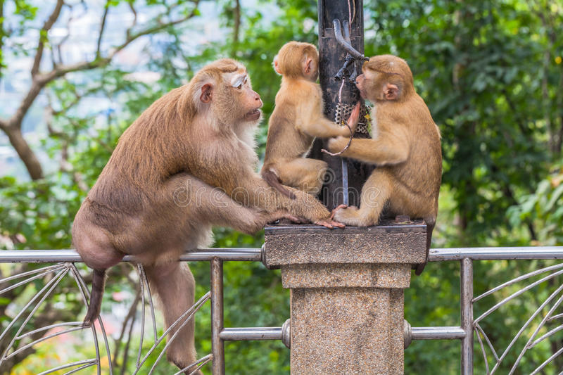 Family of monkey on Kho Rang view point. A lot of monkey at Kho Rng viewpoint big family of monkeys live in the forest around Kho Rang viewpoint stock photos