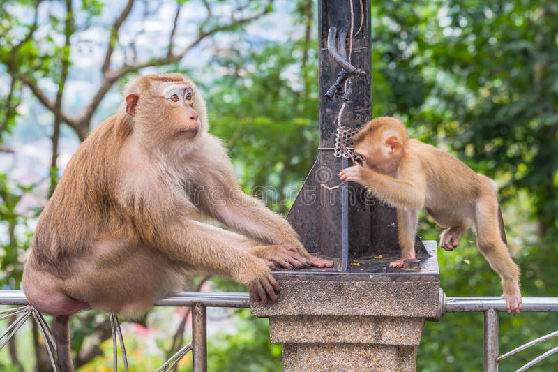 Family of monkey on Kho Rang view point. A lot of monkey at Kho Rng viewpoint big family of monkeys live in the forest around Kho Rang viewpoint stock image