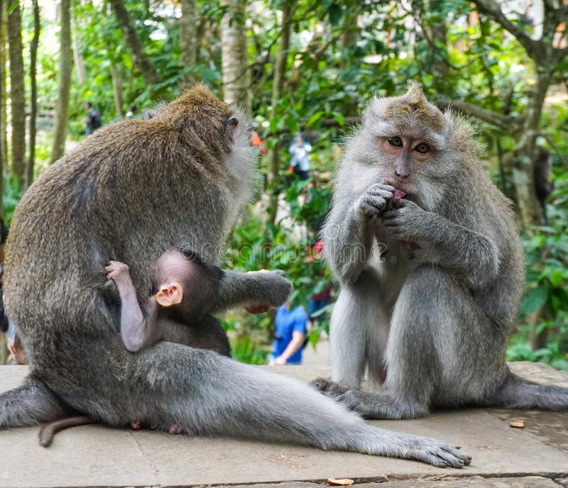 Family of monkeys with a little baby macaque near Tample in Monkey Forest, Ubud, Bali, Indonesia stock photos