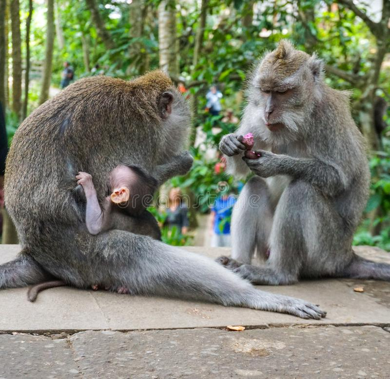 Family of monkeys with a little baby macaque near Tample in Monkey Forest, Ubud, Bali, Indonesia royalty free stock photos