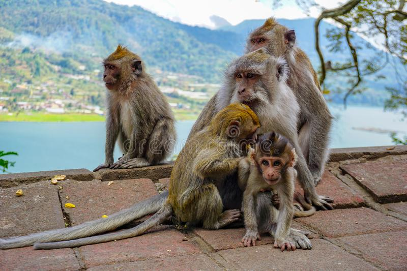 Family of monkeys with a little baby macaque near Tample in Monkey Forest, Ubud, Bali, Indonesia stock photo
