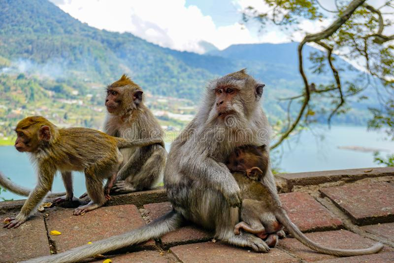 Family of monkeys with a little baby macaque near Tample in Monkey Forest, Ubud, Bali, Indonesia royalty free stock image