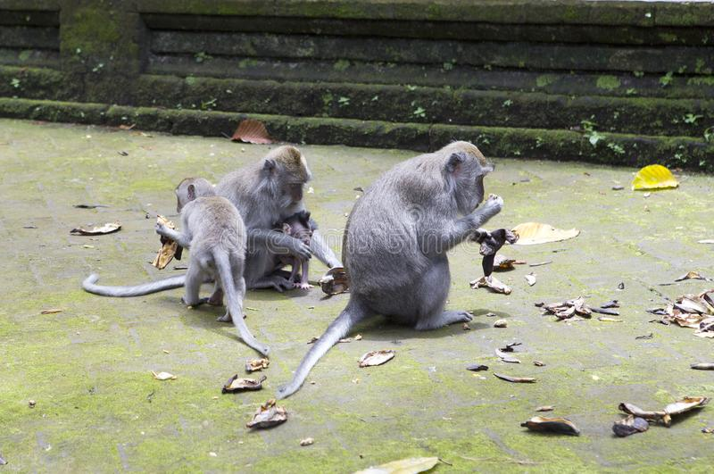Family of monkeys Long-tailed macaque-Macaca fascicularis in Sangeh Monkey Forest in Bali, Indonesia stock images