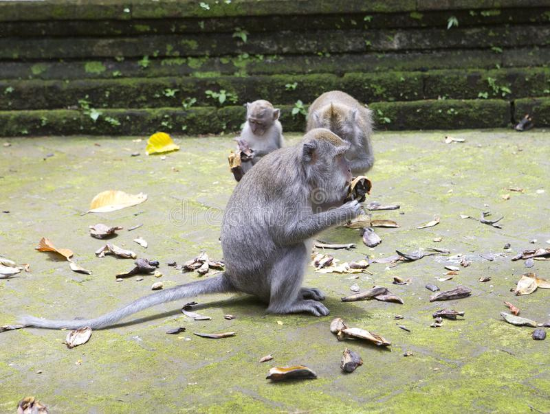 Family of monkeys Long-tailed macaque-Macaca fascicularis in Sangeh Monkey Forest in Bali, Indonesia stock photo