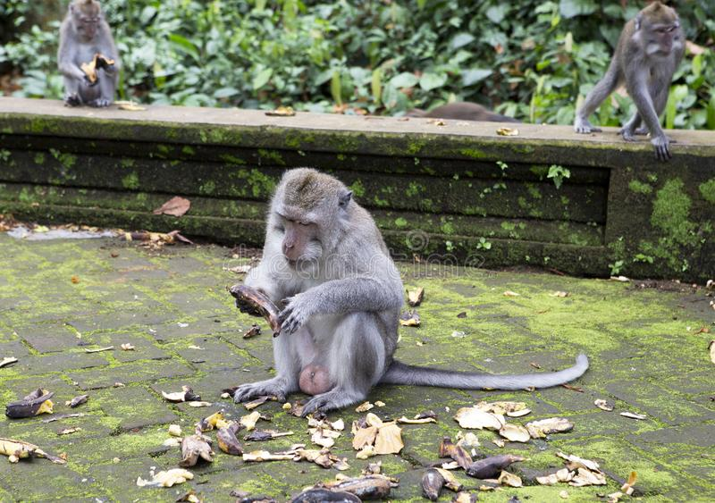 Family of monkeys Long-tailed macaque-Macaca fascicularis in Sangeh Monkey Forest in Bali, Indonesia stock photography