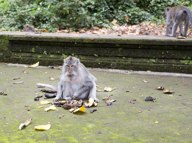 Family of monkeys Long-tailed macaque-Macaca fascicularis in Sangeh Monkey Forest in Bali, Indonesia stock photos