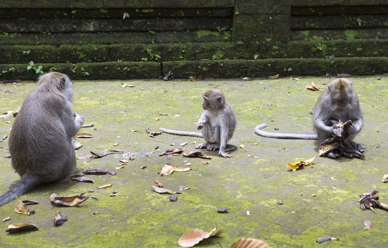 Family of monkeys Long-tailed macaque-Macaca fascicularis in Sangeh Monkey Forest in Bali, Indonesia royalty free stock image