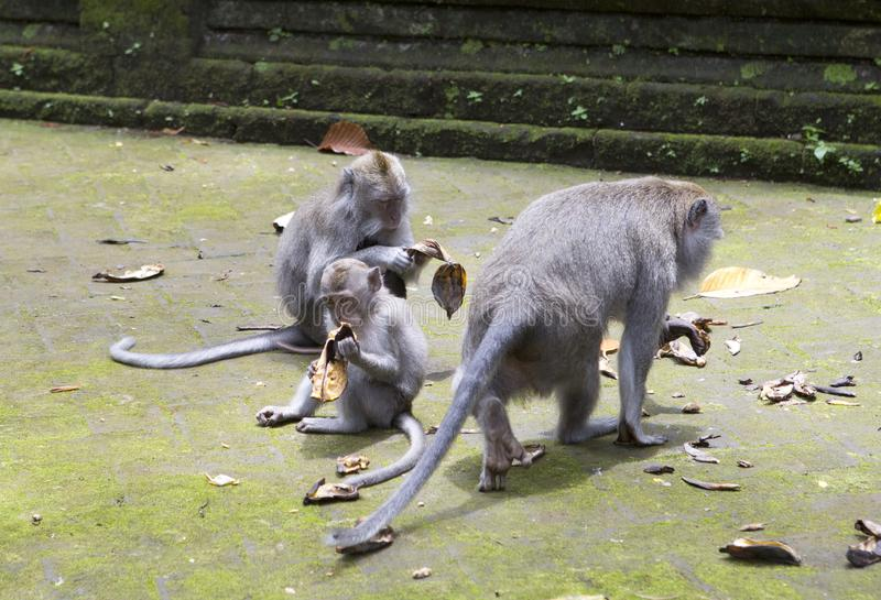 Family of monkeys Long-tailed macaque-Macaca fascicularis in Sangeh Monkey Forest in Bali, Indonesia royalty free stock photos