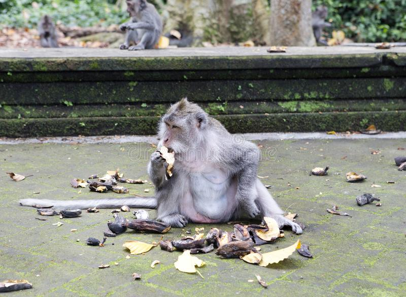 Family of monkeys Long-tailed macaque-Macaca fascicularis in Sangeh Monkey Forest in Bali, Indonesia stock image