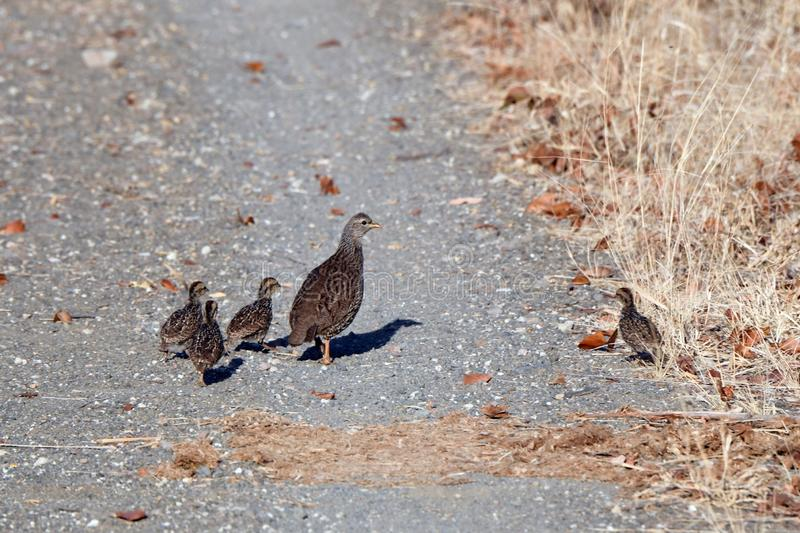 Natal spurfowl. A family of Natal spurfowl is walking in the bush in Botanic Garden of Capetown in South Africa. It is a bird with brown,gray,coffee ,black stock images