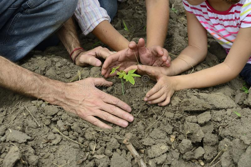 Family of organic farmers planting seedling stock photography