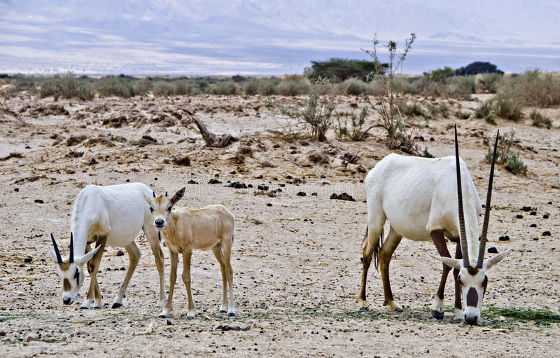 Download Family Of Oryx In Nature Reserve, Israel Stock Images - Image: 25721844