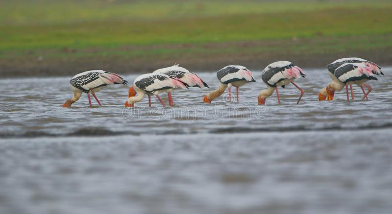 Family of painted stork royalty free stock image