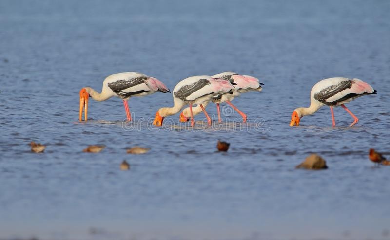 Family of painted stork bird royalty free stock photography