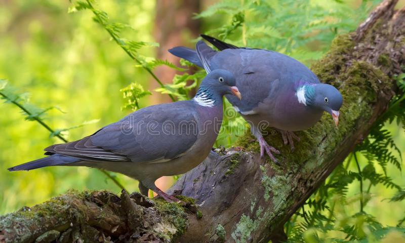 Male and female Common wood pigeons together on a big mossy trunks with green foliage stock image
