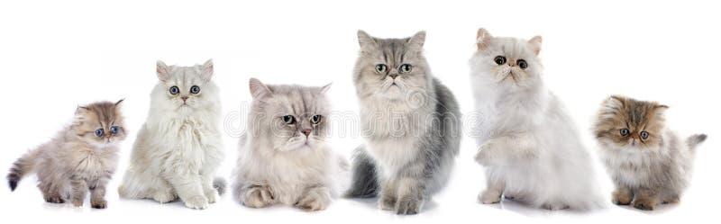 Family persian cats royalty free stock photo