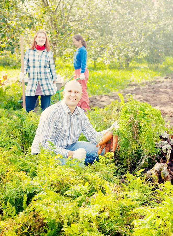 Family is picking carrot in field. Happy family is picking carrot in field stock photo