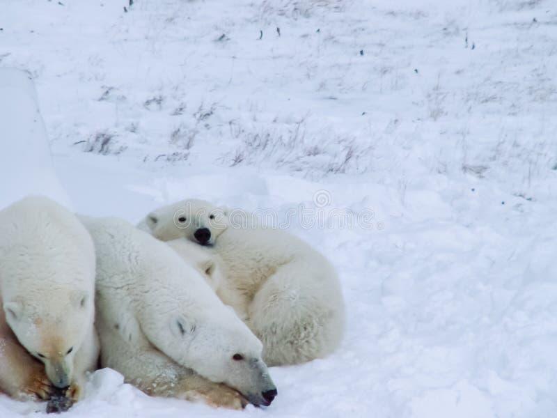 Family of polar bears on Wrangel Island royalty free stock photography