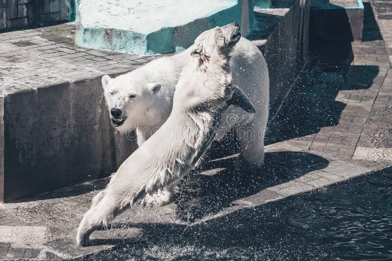 Family of polar bears. Young white bear jumping in the water. . stock photo