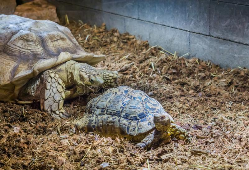 Family portrait of a african spurred tortoise mother with its child. A family portrait of a african spurred tortoise mother with its child stock photos