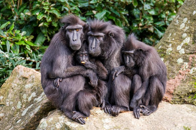 Family portrait of crested macaque monkeys, father and mother and 2 young monkeys. Family of crested macaque monkeys in the Rotterdam Zoo, Netherlands sitting royalty free stock photos