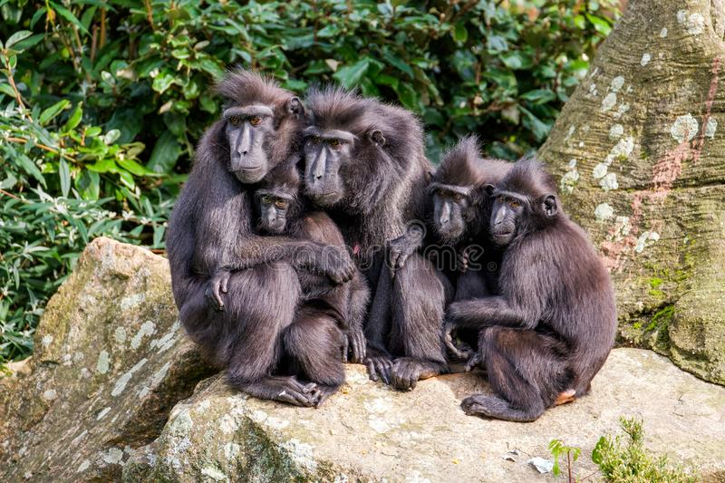 Family portrait of crested macaque monkeys, father and mother and 3 young monkeys. Family of crested macaque monkeys in the Rotterdam Zoo, Netherlands sitting royalty free stock photography