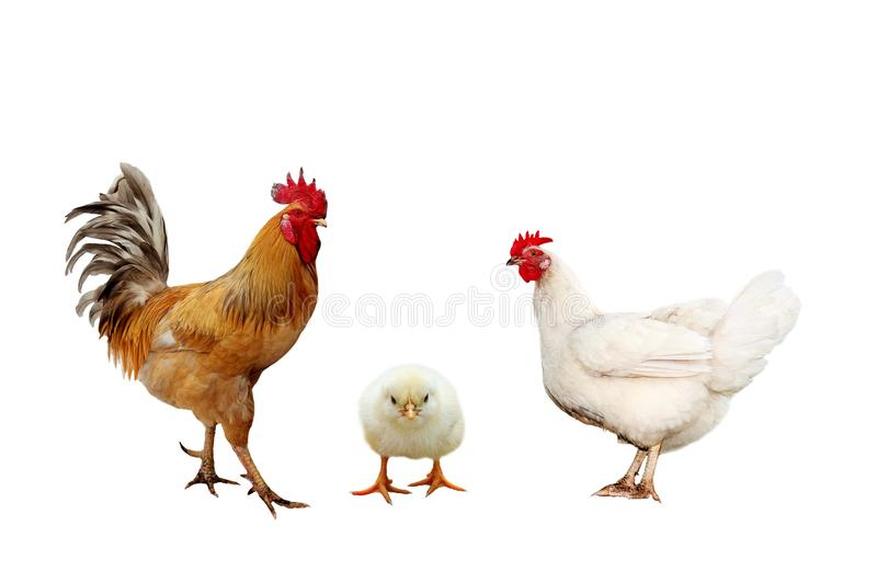 Family portrait farm birds chicken, bright red roosters yellow l stock photography