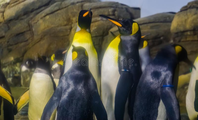 Family portrait of king penguins together, great penguin specie, aquatic flightless birds from Antarctica. A family portrait of king penguins together, great royalty free stock photography