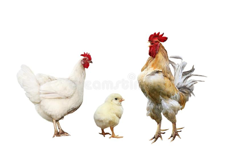 Family portrait poultry chicken, red rooster bright yellow little chicken on a white isolated background stock images