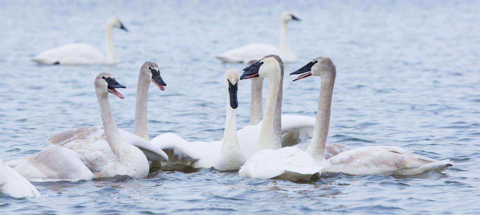 Family reunion. A family of trumpeter swans having an discussion royalty free stock photos