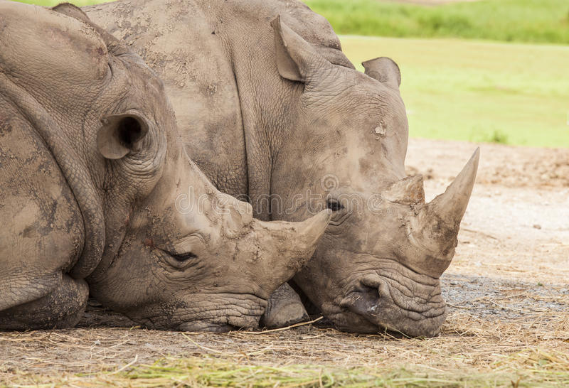Download Family of rhino stock image. Image of herbivore, adult - 27207125